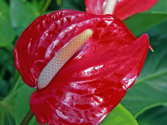 pet_anthurium_new