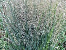 13 terrific tall grasses hgtv types of ornamental grasses workwithnaturefo