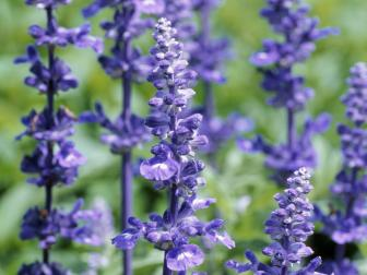 Benefits Of Lavender Hgtv