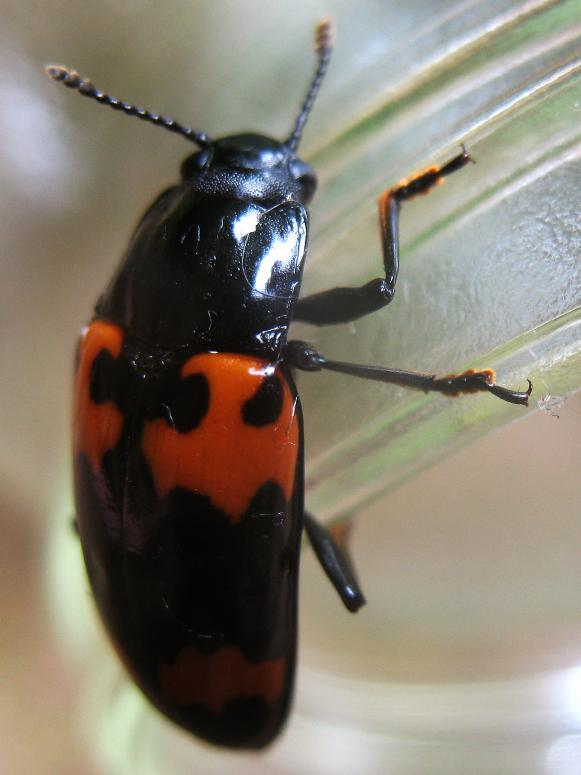insect_pleasing-fungus-beetle_s3x4