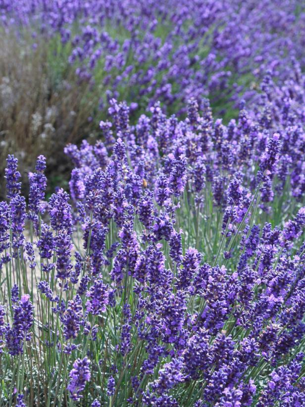 Field of English Lavender