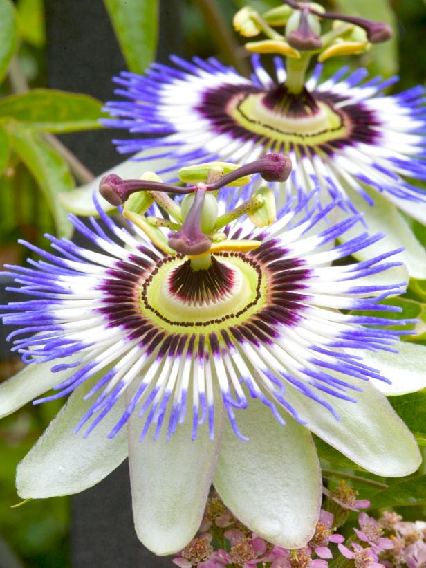 Intricate Purple and White Passion Flowers