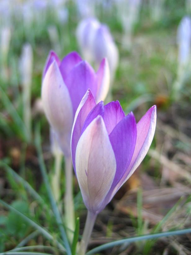 Fall Flowering Purple Crocus