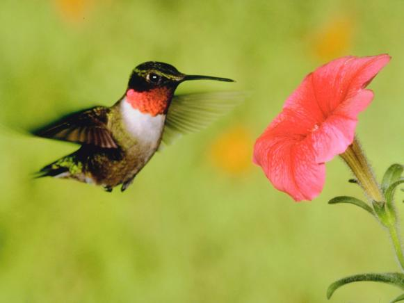 Hummingbird Flutters Over Flower