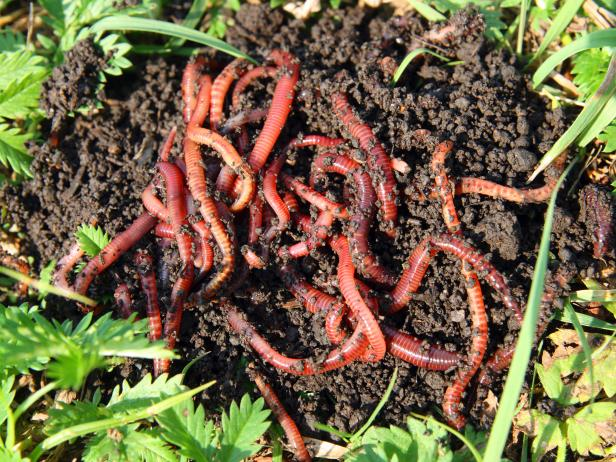 Red Earthworms in Compost