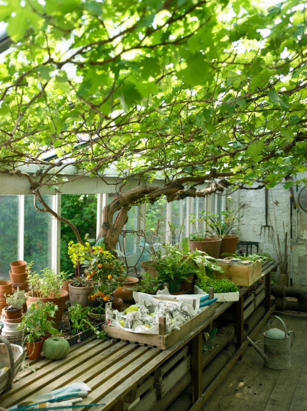 Greenhouse Vines