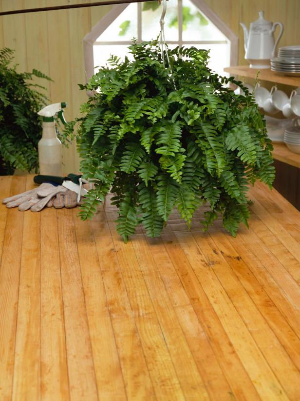 Hanging Fern Houseplant