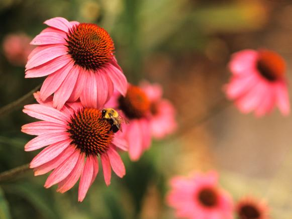 Bee Visits Coneflower