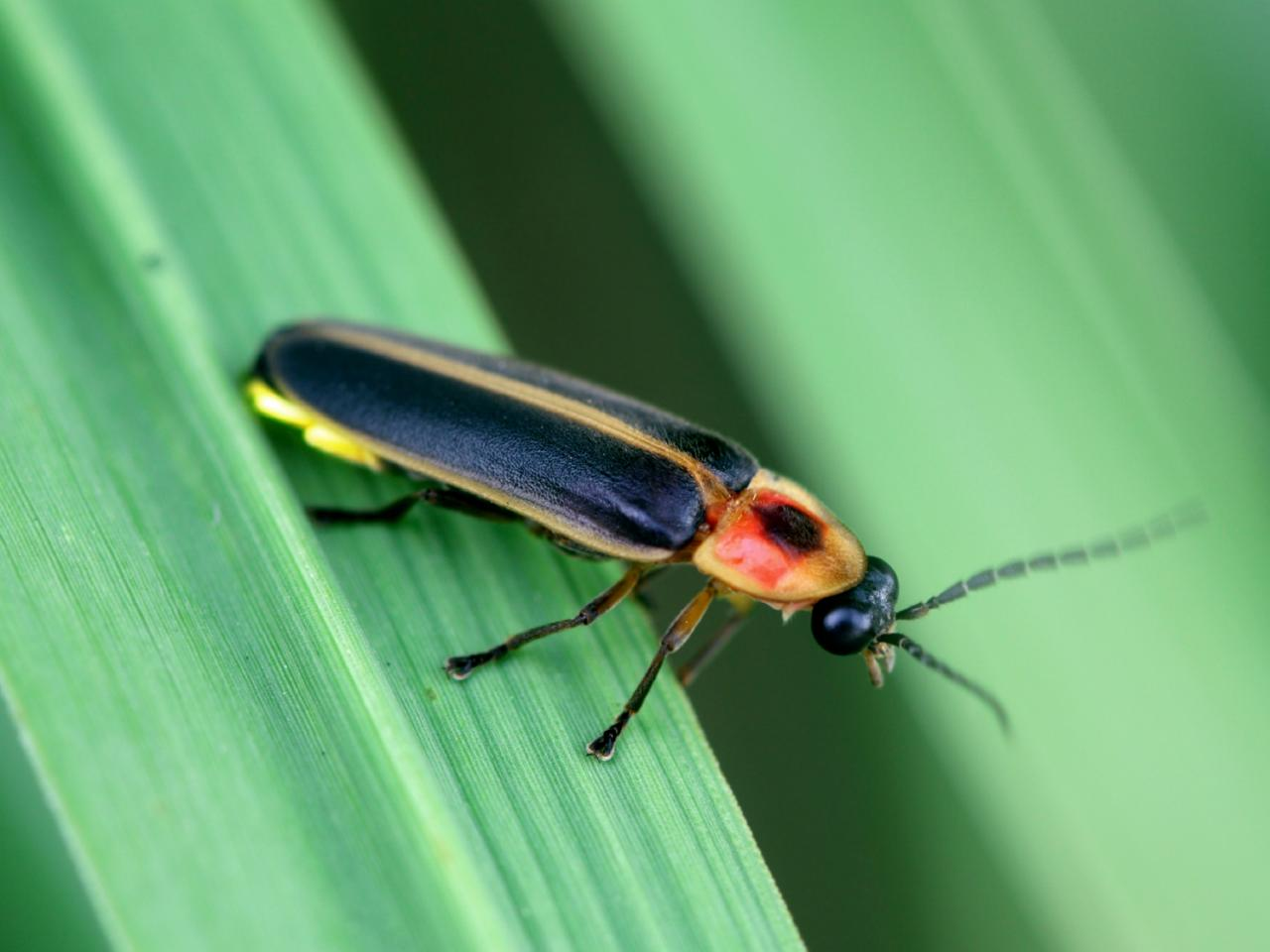 Firefly Lightning Bug Hgtv
