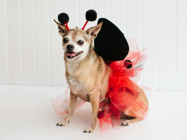 Ladybug Pet Costume Beauty & Pet Halloween Costume: Little Ladybug | HGTV