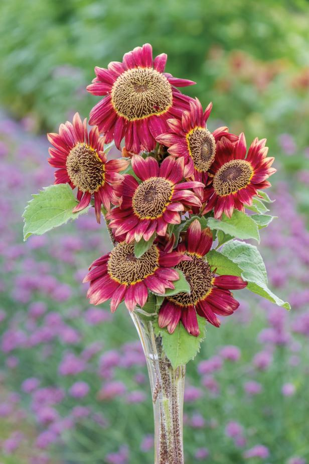 Sunflower 'Crimson Blaze'