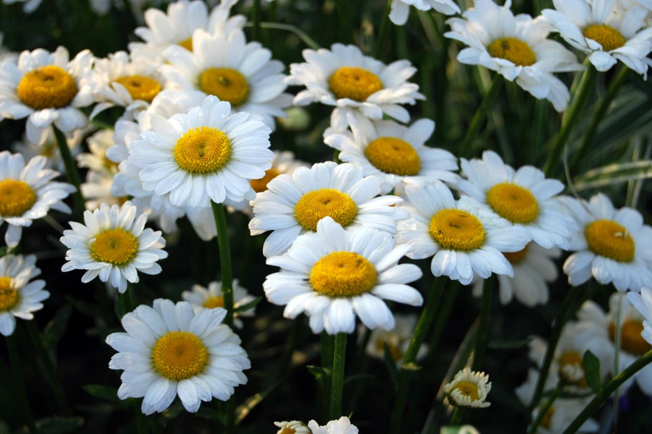 Daisy flower types of daisies hgtv leucanthemum darling cheerful daisies like leucanthemum izmirmasajfo