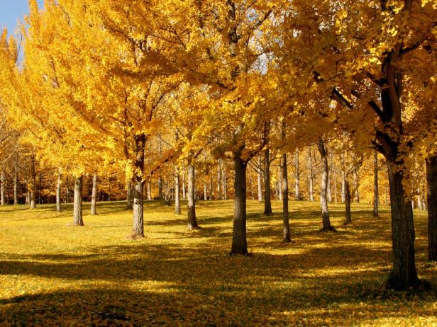 Gingko Trees With Fall Color