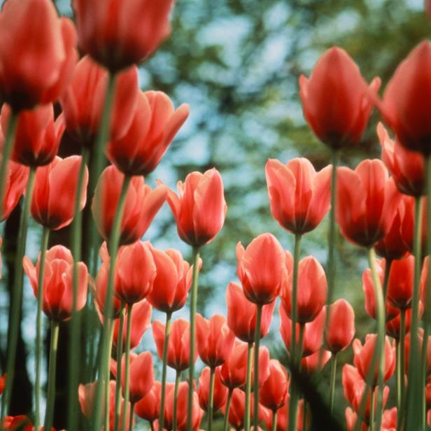 10 Bulb Garden Design Ideas: Planting Tulips