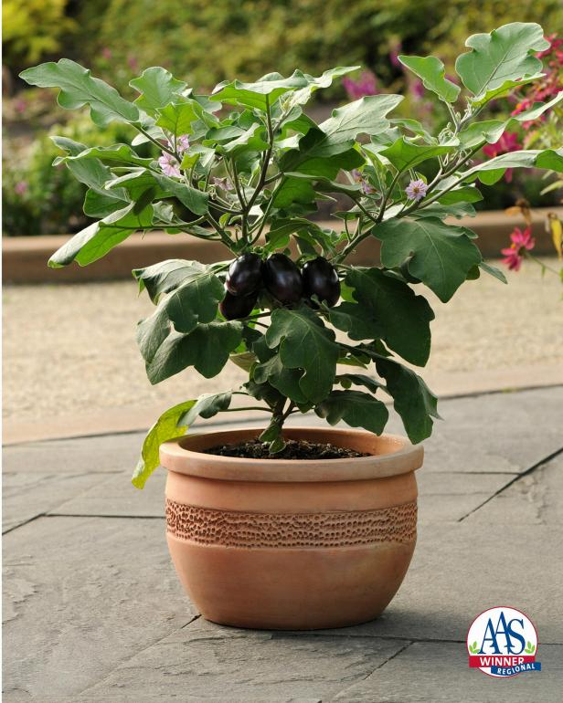 All-America Selections winner 'Patio Baby' Eggplant