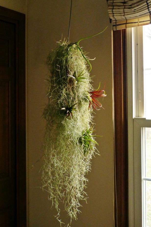 Spanish Moss and Assorted Tillandsias