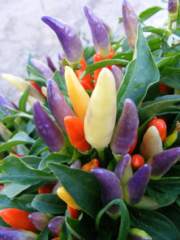Ornamental Pepper 'NuMex Easter'