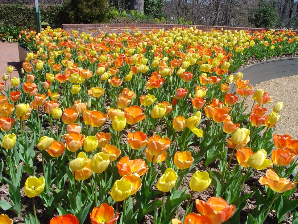 yellow and orange spring bulbs