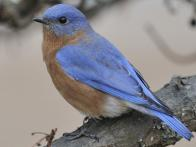 How to Welcome Bluebirds to Your Yard