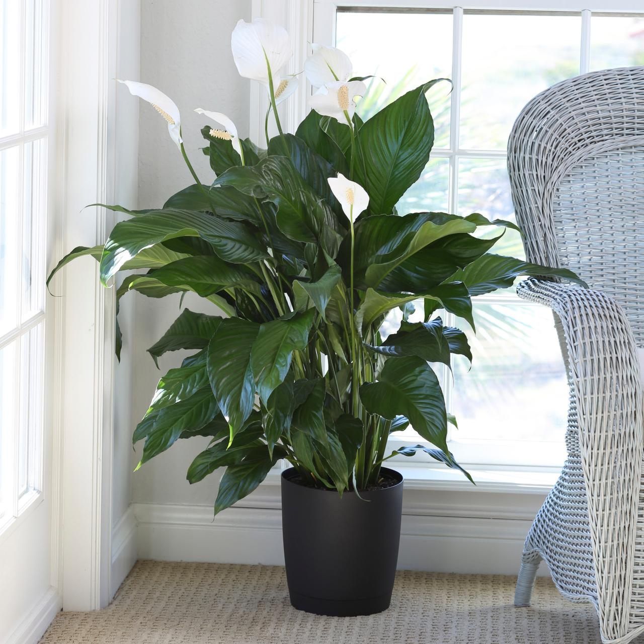 Grow And Care For Peace Lily Plants
