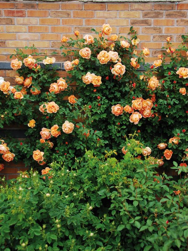 10 Beautiful Easy To Grow Climbing Roses For Your Garden Hgtv