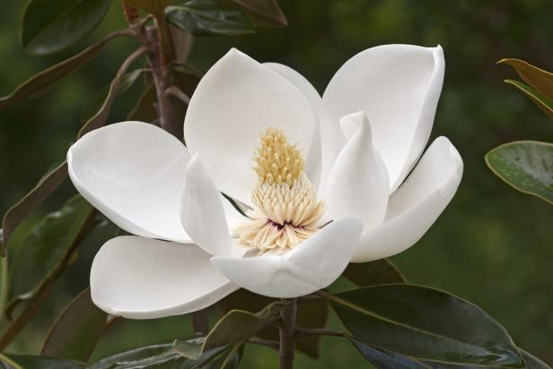 Magnolia Tree Care Tips Hgtv