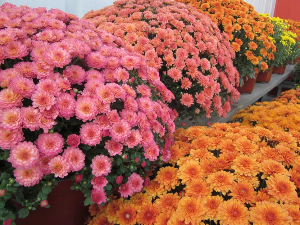 Best Perennials For Fall Hgtv