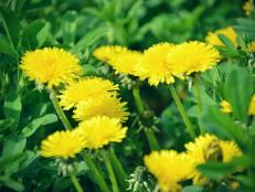 Twelve common weeds hgtv weed whacker how to level pesky plants organically mightylinksfo