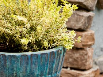 Weathered Teal Pot Planted With Golden Euonymus Shrub