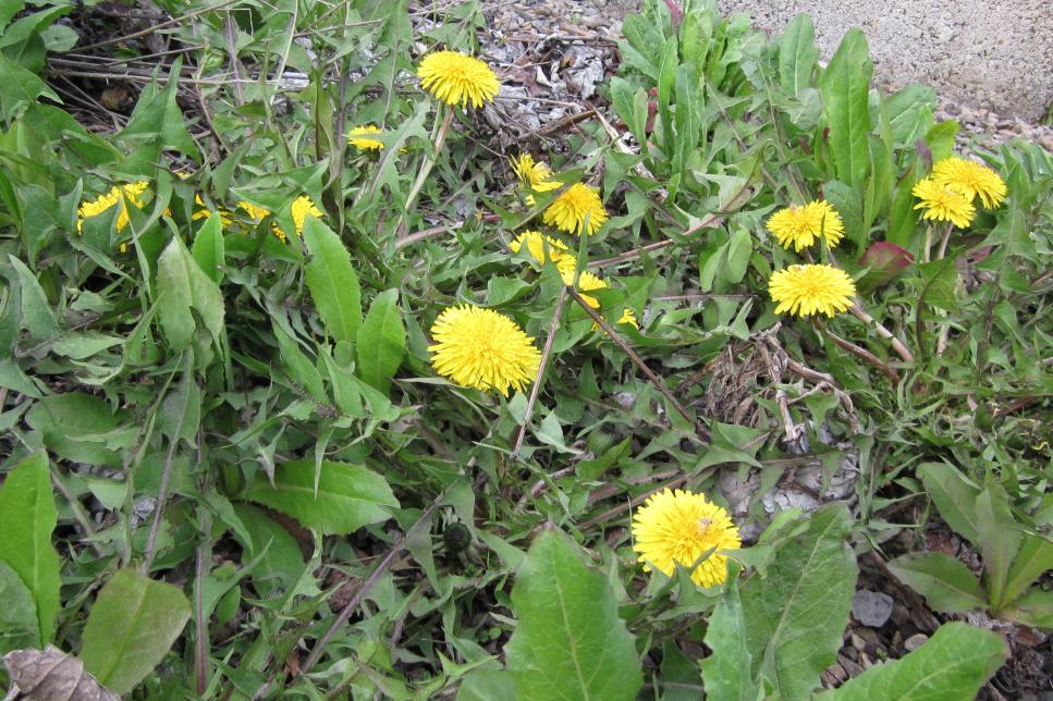 Twelve common weeds hgtv photo by julie martens forney mightylinksfo