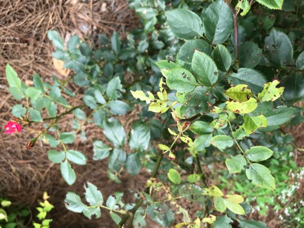Black Spot Disease on Roses