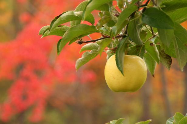 Gold Apple On Tree