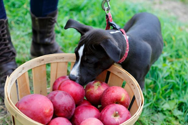 Bushel Basket Of Apples With Puppy
