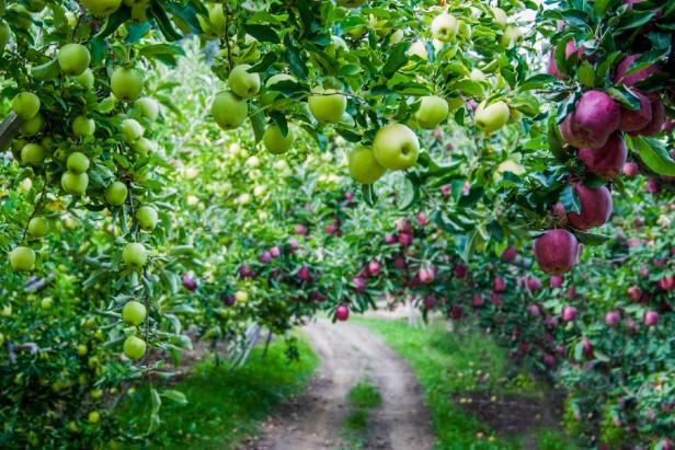 Apple Tree Allee