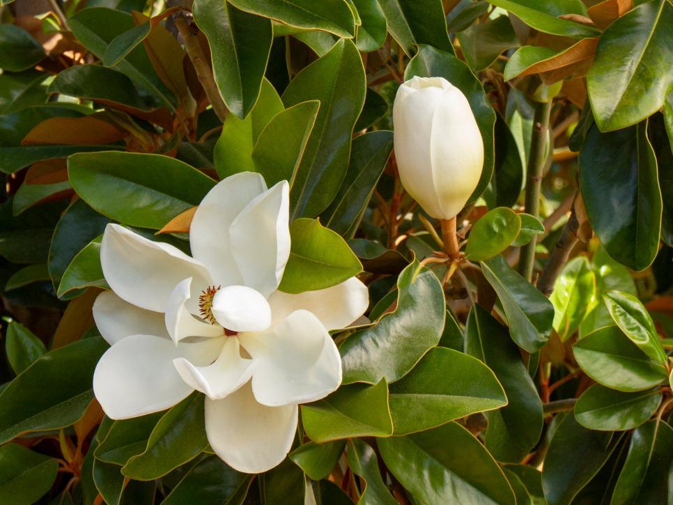 Magnolia Tree Types And Magnolia Tree Care Hgtv