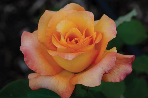 Hybrid Tea Rose 'Adolf  Horstmann'