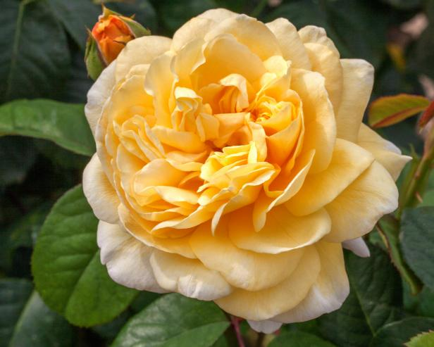 Tea Rose 'Moonlight Romantica'