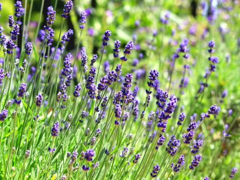 English Lavender: How to Grow and Use in Your Garden