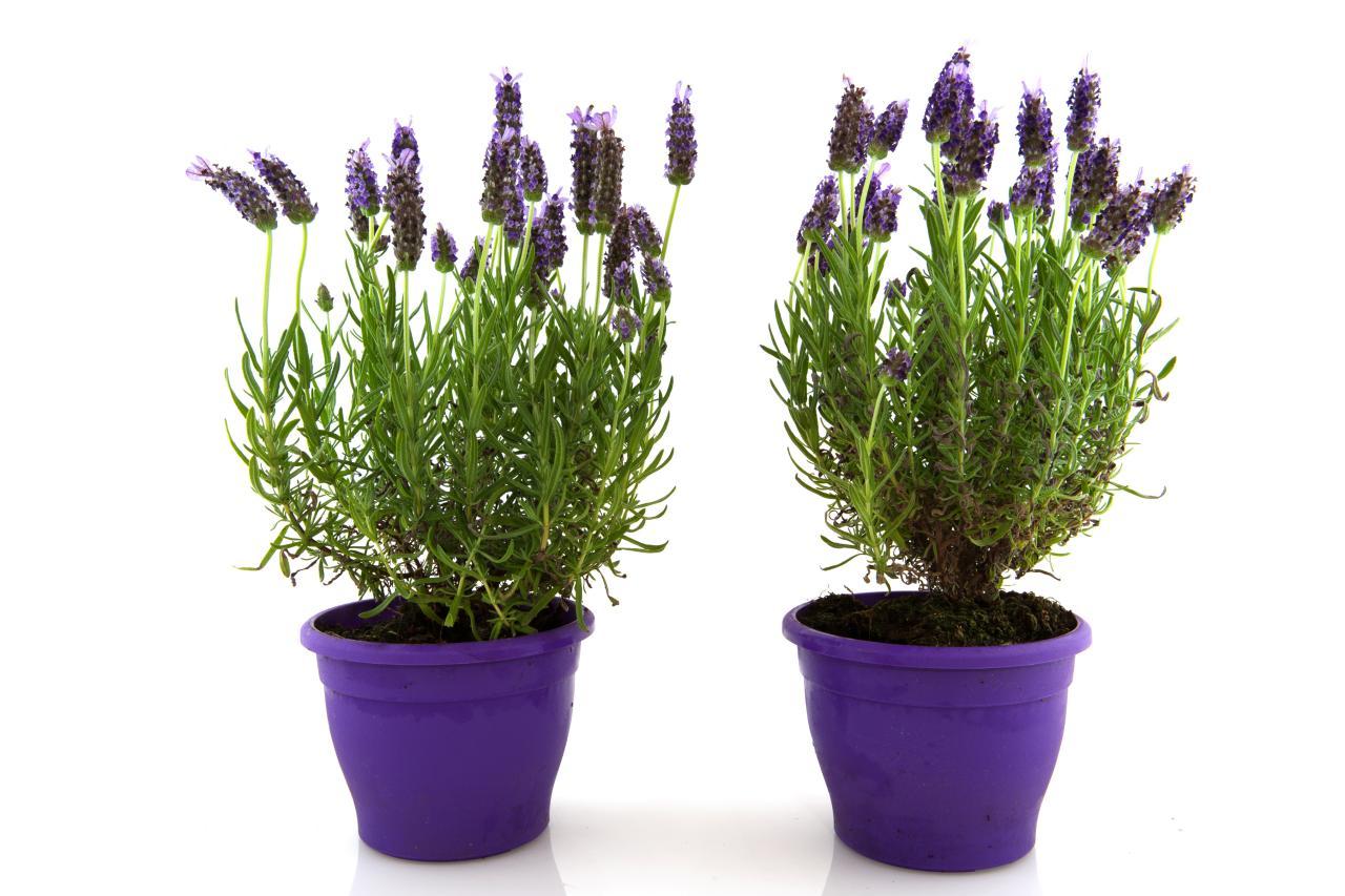 Lavender Trees Hgtv