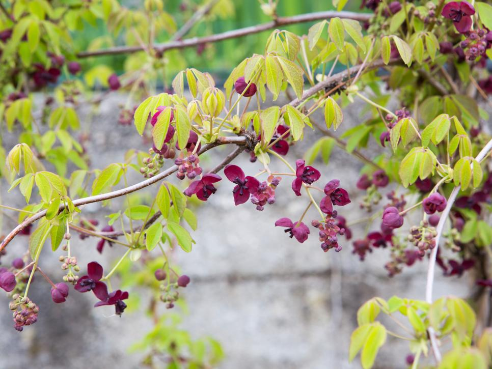 13 flowering vines for year round color hgtv photo by phstephanshutterstock mightylinksfo