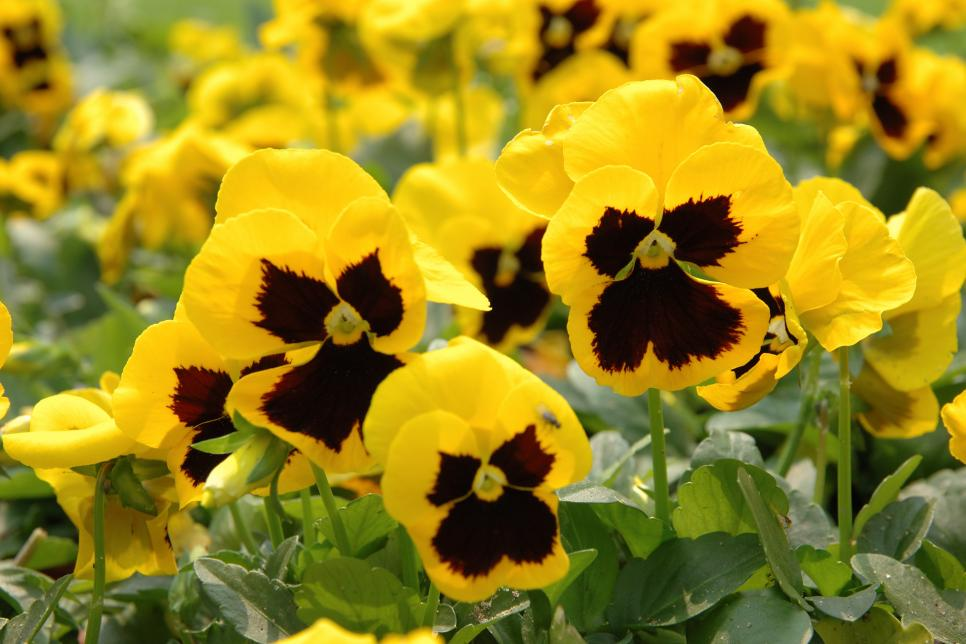 Best yellow annual flowers for your garden hgtv golden touch mightylinksfo