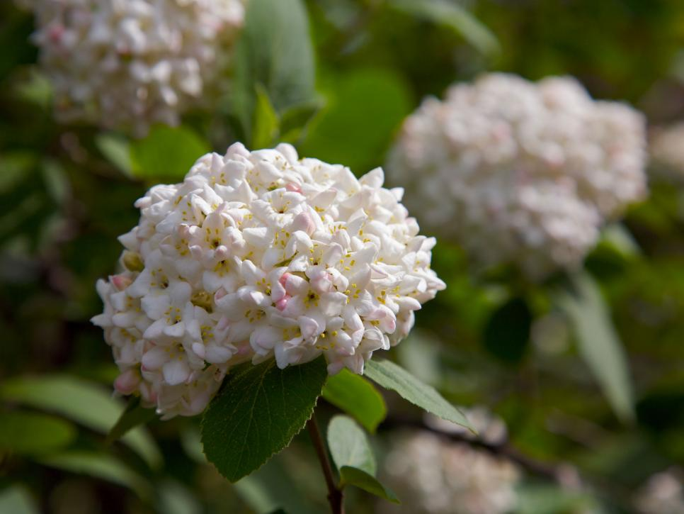 The most fragrant shrubs types of shrubs hgtv photo by shutterstockplanet5d llc mightylinksfo Images