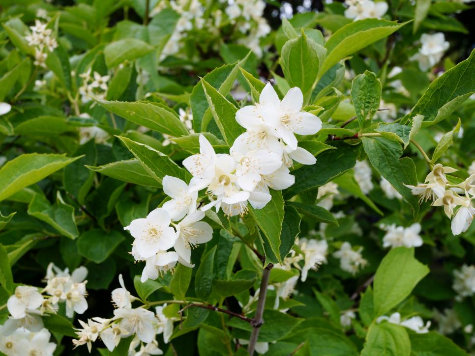 13 Fragrant Shrubs