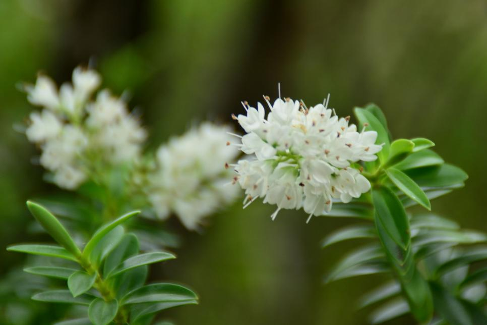 The Most Fragrant Shrubs Types Of Shrubs Hgtv