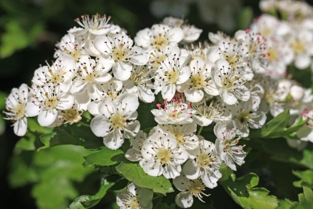 Seasonal Allergies Can Be Caused by Blooms Such as Hawthorne