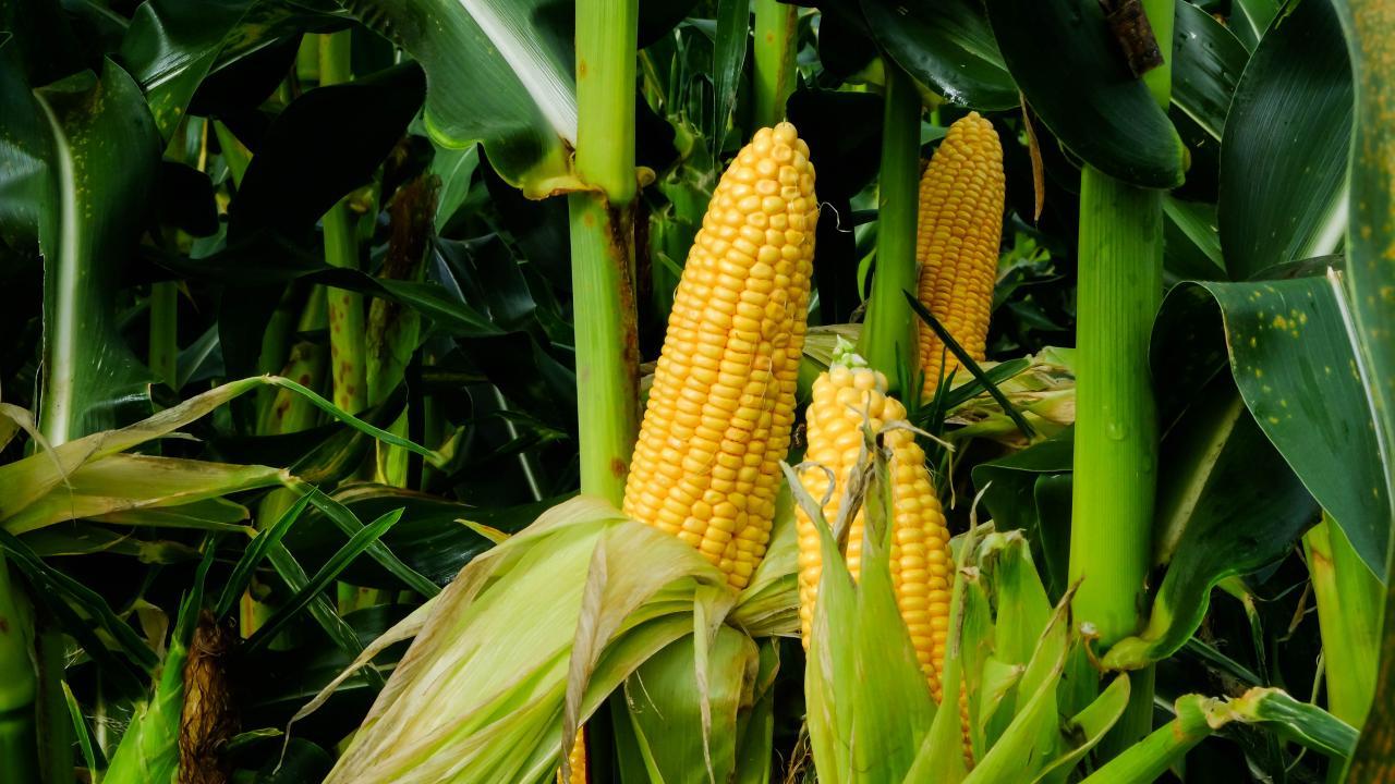 Freezing Corn | How to Freeze Corn On the Cob | HGTV
