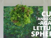 How to Grow a Lettuce Sphere